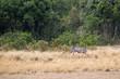 Zebra Jumping Over Lioness on Hunt