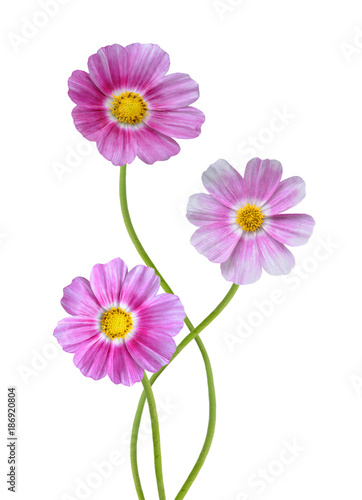 Colored Cosmos Flowers Isolated on White Background.