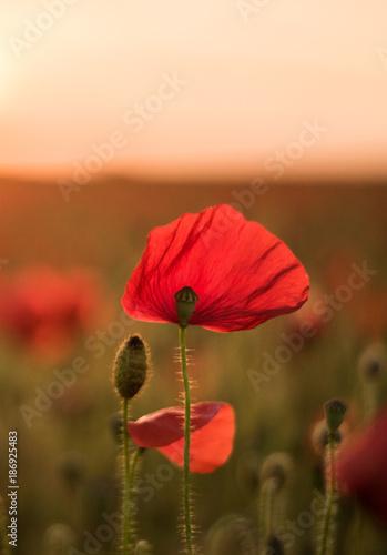 Closeup of poppy at sunset - 186925483