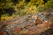 Fox, Denali National Park, Alaska, USA