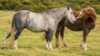 Wild horses near Hay Bluff and Twmpa in the Black Mountains, Brecon Beacons, Wales, UK - 186950256