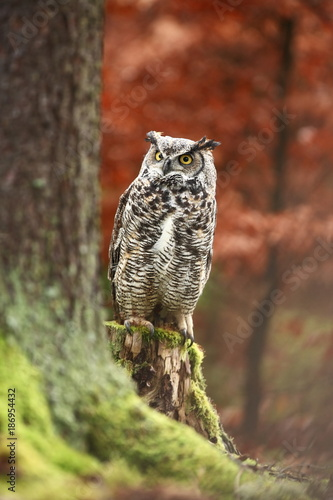 Bubo virginianus. Beautiful owl. He lives in North America.