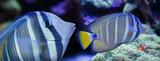 beautiful aquarium fish in a sea aquarium - Zebrasoma veliferum - 186955214