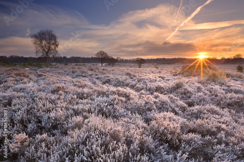 Foto op Canvas Lavendel Frosted heather at sunrise in winter in The Netherlands