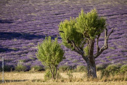 Fotobehang Lavendel Champ de lavandes près de La Rochegiron, Alpes-de-Haute-Provence