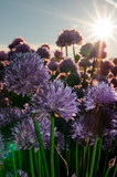 chives in sunlight - 186967848