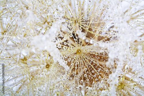 Aluminium Paardebloemen Close-up of dewdrop on the head of dandelion