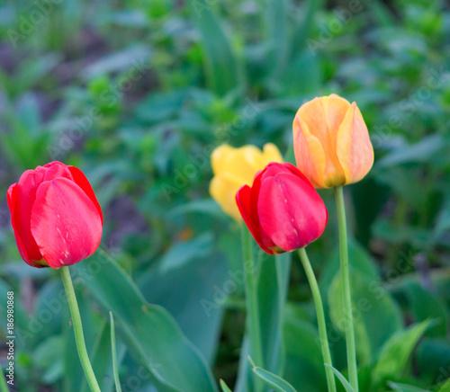 Fotobehang Tulpen tulips in the grass
