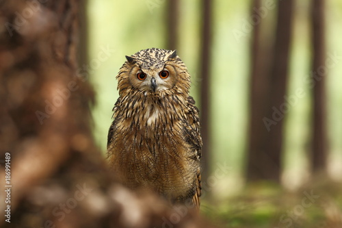 Bubo bengalensis. Photographed in Czech. Owl in nature. Beautiful photo. Autumn nature. Owl. Nature. Forest.