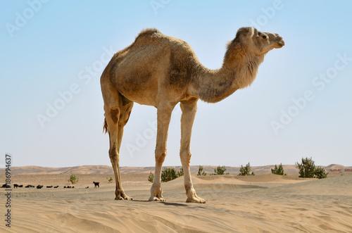 Fotobehang Kameel Sahara desert