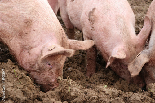 Pink pigs are weltering in the dirt - 187002017