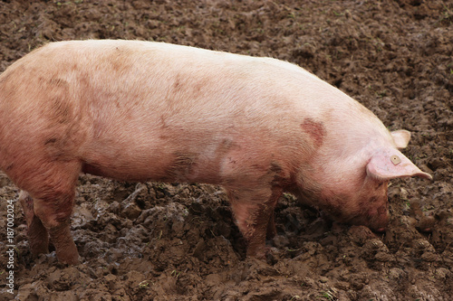 Pink pigs are weltering in the dirt - 187002024