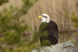 Haliaeetus leucocephalus. Bald Eagle is a big bird of prey living in North America. It is a national bird and a symbol of the state of the United States. Located in most of Canada and Alaska and the U