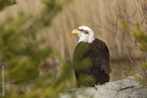 Plexiglas Eagle Haliaeetus leucocephalus. Bald Eagle is a big bird of prey living in North America. It is a national bird and a symbol of the state of the United States. Located in most of Canada and Alaska and the U