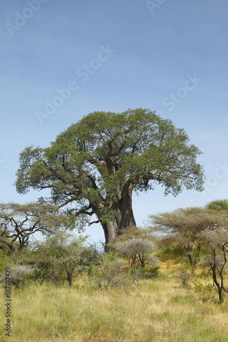 Fotobehang Baobab Baobab Tree