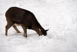 European mouflon sheep (Ovis ammon musimon) in the winter forest - 187020878