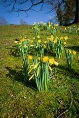 Daffodils wild meadow in Scotland.