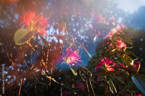 Fotobehang Azalea Old English garden in spring