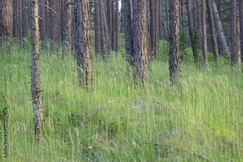 In de dag Olijf Forest landscape in the summer. Pine wood. Latvia.
