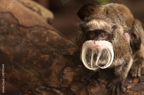 Poster A Bearded Emperor Tamarin monkey with a baby