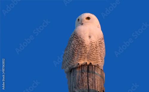Snowy Owl on Pole