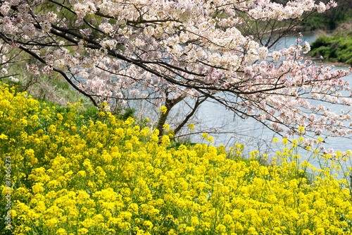Fotobehang Geel 満開の桜と菜の花