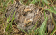 Clutch Of California Quail Chicks