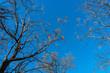 Ветки деревьев на фоне ясного неба в солнечный январский день в Далласе, штат Техас