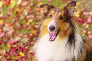 Laughing Sheltie dog