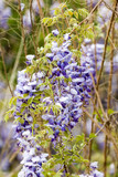 Wisteria Blooming - 187076444