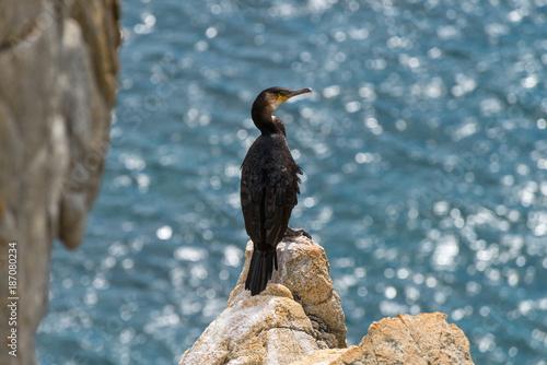 Gamov peninsula in the Russian Far East. Seabirds cormorants on the rocks in the sea.