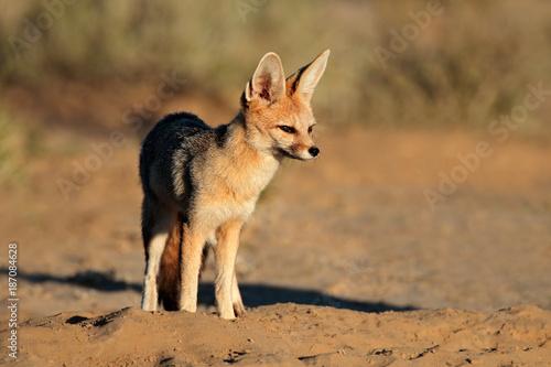 Cape fox (Vulpes chama) in natural habitat, Kalahari desert, South Africa Poster