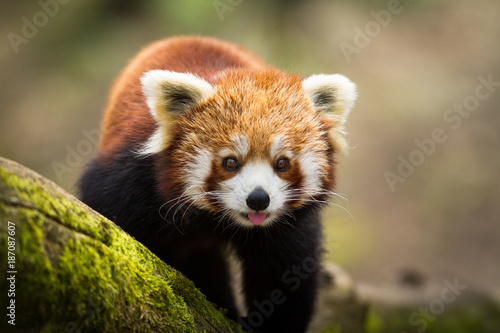 Canvas Panda Red Panda - Panda Roux
