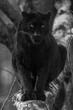 Black Panther - Panthère Noir - 187089292