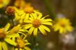 flowering yellow spring flowers