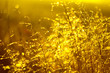 Toning gold background. drops of dew on the dried grass. bokeh...