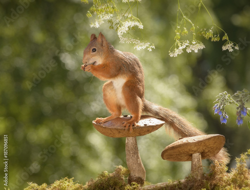 Foto op Canvas Natuur squirrel standing on mushroom eating