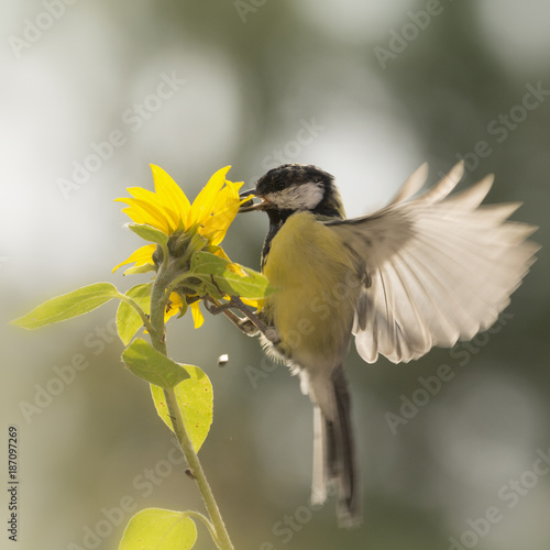 Foto op Canvas Natuur great tit in flied with a sunflower