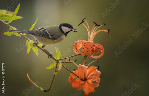Foto Murales great tit on branch with orange lilies