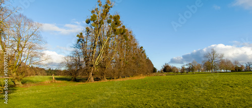 Ancient avenue of trees heavily covered in mistletoe in the Itchen valley leading to the main gate of Avington Hall, Hampshire UK