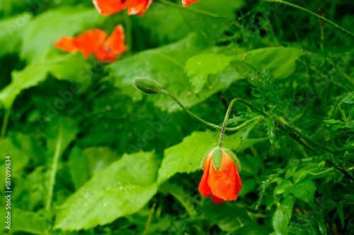A flower of the decorative poppy growing on a summer meadow. - 187099634