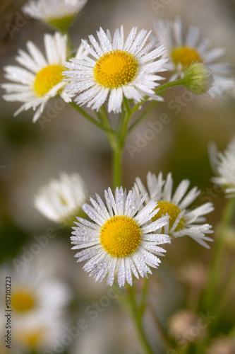Foto op Canvas Natuur small daisy flowers macro