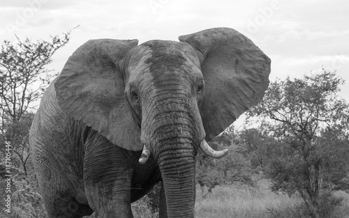 wild animal in kruger national parc