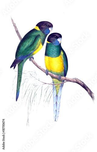 illustration-des-papageien