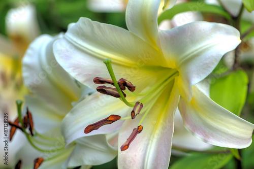 Kwiat białej lilii rosnące w letnim ogrodzie.
