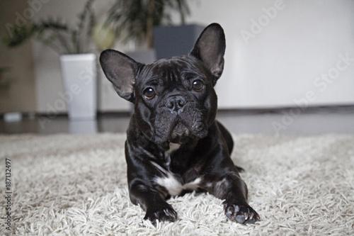 Foto op Plexiglas Franse bulldog Французский бульдог