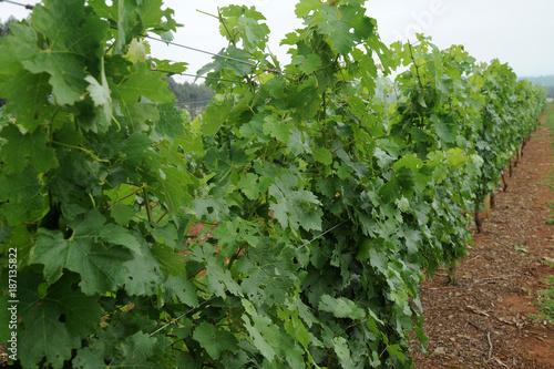 Vineyard Grape Vineyard