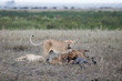 Female lion with baby lions eating gnu antelope