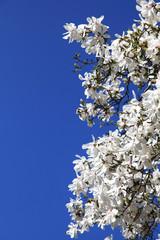 Weiße Magnolienblüten vor blauem Himmel