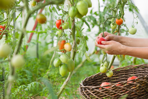 Foto Murales woman's hands harvesting fresh organic tomatoes in her garden on a sunny day. Farmer Picking Tomatoes. Vegetable Growing. Gardening concept